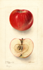 Apples, Northern Spy (1904)