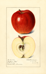 Apples, Northern Spy (1917)