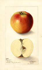 Apples, Olympia (1905)