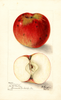 Apples, Mcmullen (1905)