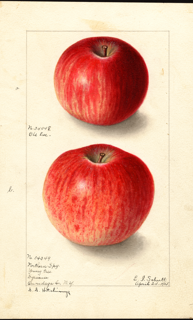 Apples, Northern Spy (1905)
