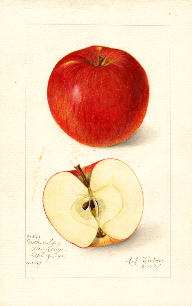 Apples, Northern Spy (1907)