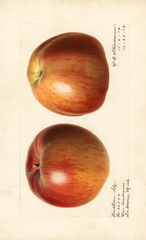 Apples, Northern Spy (1918)