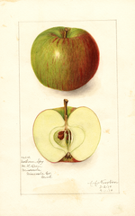 Apples, Northern Spy (1910)