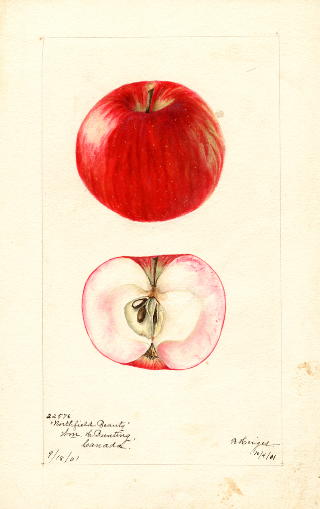 Apples, Northfield Beauty (1901)