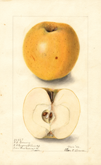 Apples, Northwestern Greening (1904)