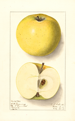 Apples, Northwestern Greening (1911)
