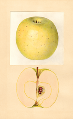 Apples, Northwestern Greening (1934)