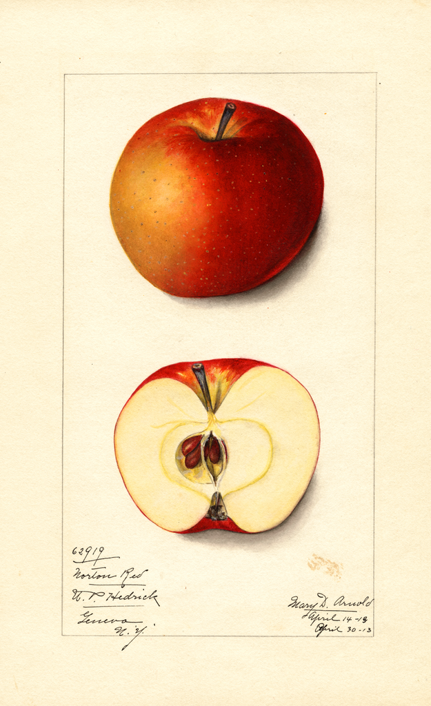 Apples, Norton Red (1913)