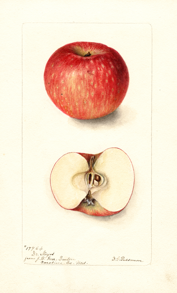 Apples, Doctor Noyes (1899)
