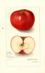 Apples, Doctor Noyes (1911)