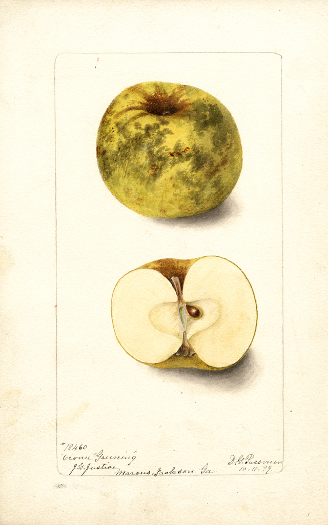 Apples, Oconee Greening (1899)