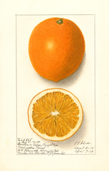 Oranges, Washington Navel (1913)