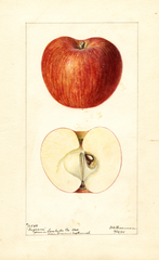 Apples, Ingram (1895)