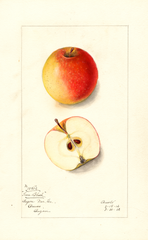 Apples, Iowa Blush (1912)