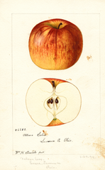 Apples, Moore Extra (1894)