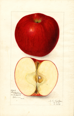 Apples, Stayman Winesap (1909)