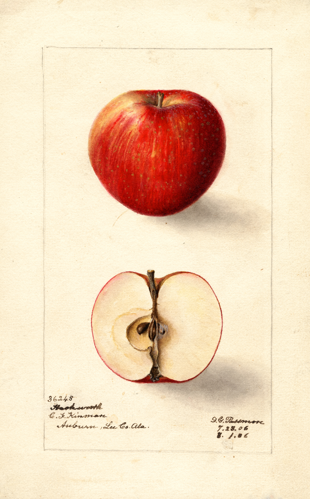 Apples, Hackworth (1906)