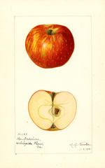Apples, Herefordshire (1921)