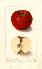 Apples, Herefordshire (1905)