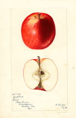 Apples, Jonathan (1898)