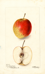 Apples, Ohio Ladyfinger (1902)