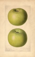 Apples, Ohio Pippin (1920)