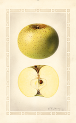 Apples, Ohio Pippin (1923)