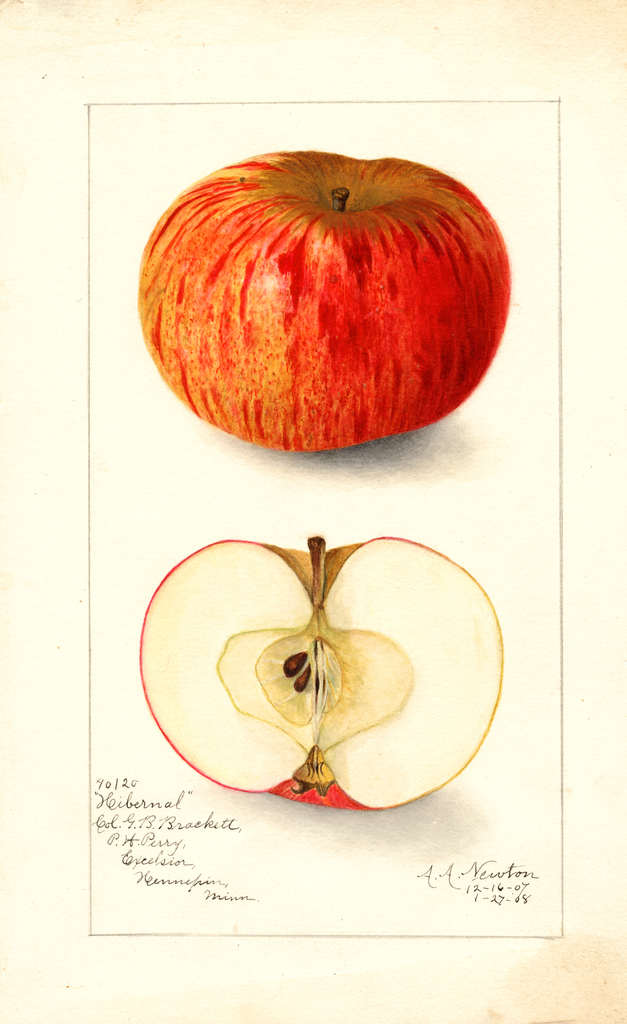 Apples, Hibernal (1908)