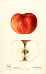 Apples, Hiester (1894)