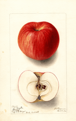 Apples, Hiester (1900)