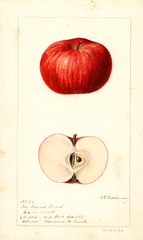 Apples, Hog Island Sweet (1896)