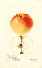 Apples, Holland Pippin (1901)