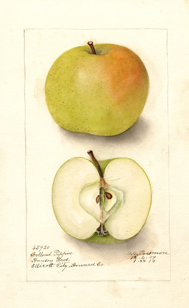 Apples, Holland Pippin (1910)