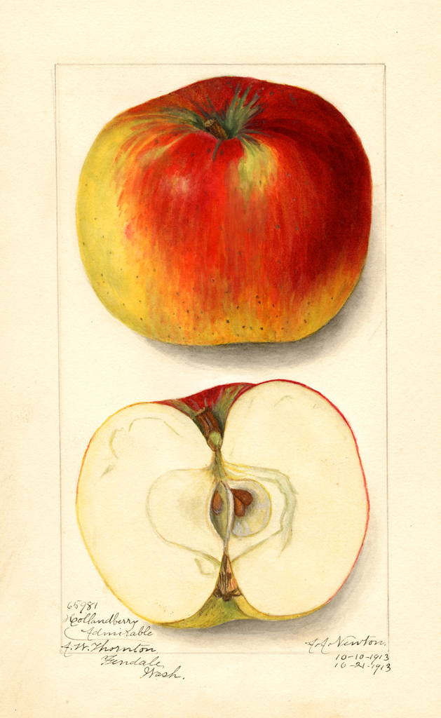 Apples, Hollandberry Admirable (1913)