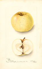 Apples, Holly (1904)