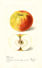 Apples, Honest John (1899)
