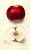 Apples, Hoover (1908)