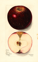 Apples, Hoover (1912)