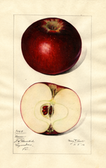 Apples, Hoover (1916)