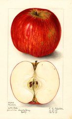 Apples, Hoover (1907)
