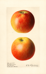 Apples, Hubbardston (1921)