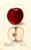 Apples, Hubbardston (1904)