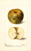 Apples, Huff (1899)