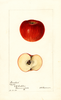 Apples, Ironclad (1895)