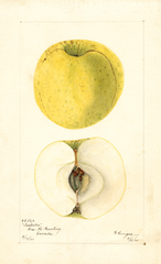 Apples, Isabella (1901)