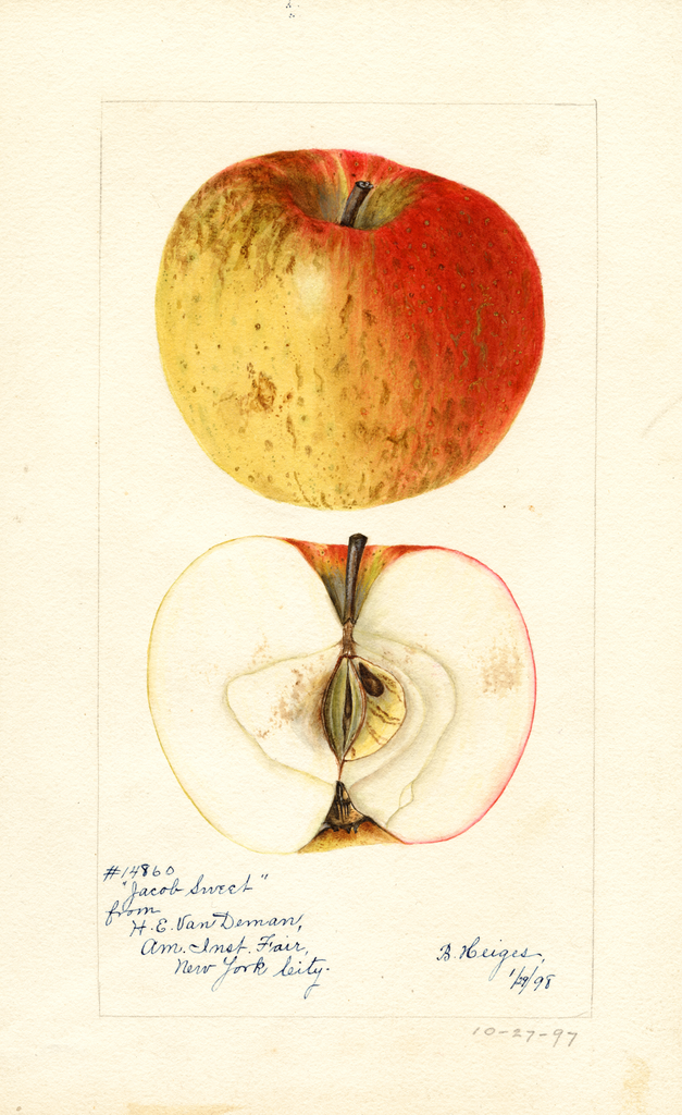 Apples, Jacobs Sweet (1898)