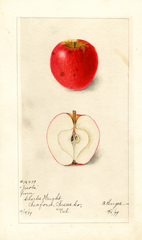 Apples, Jacobs (1899)