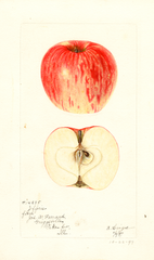 Apples, Jefferies (1897)
