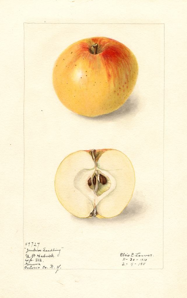 Apples, Jenkins Seedling (1911)